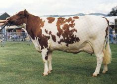 he Ayrshire cow is marked by reddish-brown mahogany colored spots on a white body. These type of cows are medium in size, weighing about 1,200 pounds in maturity.