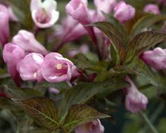 Weigela florida 'Foliis Purpureis' 15cm Pot Size * Visit the image link for more details. #PlantsSeedsandBulbs