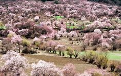 Tibetan Village Gears up for Peach Blossom Festival