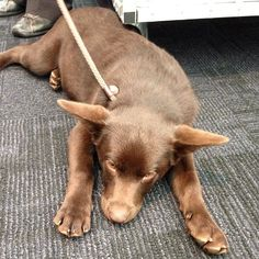 How cute is sleepy little Ted? He is an Australian kelpie, only 4 months old. We met him at #ekkalaunch13