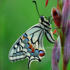 Papilio machaon -- by claudiodelfuoco