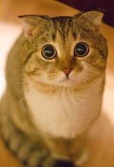 If you don't like cats then you've never seen a Scottish Fold. I Love Cats, Crazy Cats, Cool Cats, Funny Cats, Funny Animals, Cute Animals, Gato Scottish Fold, Scottish Fold Kittens, Beautiful Cats