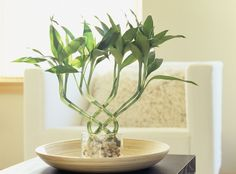 Lucky bamboo is a very popular feng shui cure. In traditional feng shui, the lucky bamboo is used to attract health, happiness, love and abundance.
