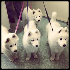 Meet Alicia, Cody, Corky and Buffy 14 week old Samoyed puppies. They came in for their 3rd puppy vaccines, health checks and to make sure they were up to date with heartworm, flea, worming and tick prevention. #vet #dog #dogs #puppy #puppies #samoyed #samoyedpuppy #mischief
