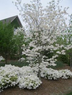 dogwood tree with azaleas planted around it's base. White dogwoods everywhere! Flowering Shrubs, Trees And Shrubs, Trees To Plant, Moon Garden, Dream Garden, Azaleas Landscaping, White Azalea, Dogwood Trees, Garden Journal