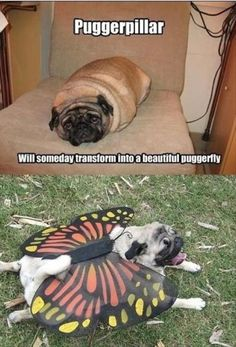Omg that's so funny! #Pug