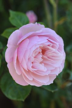 One of David Austin's Top 10 Most Fragrant English Roses: 'The Generous Gardener' is known for an award-winning fragrance that's a delicious mix of old rose, musk and myrrh. When trained as a climbing rose, its scent drifts beautifully.