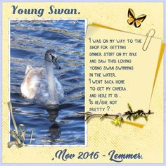 Dawn. thanks for the fun ,  Nov. 2016 - Young Swan page I used Eileen her loving - HSA_NewLife , thanks Eileen shadowed and recolored a bit .pict. my own I used the font BUNGASAI for the title - Young Swan THINKING OF BETTY for Nov.2016 - Lemmer OLD ALPHA for my story -  I was on my way to the shop for getting dinner stuff on my bike and saw this loving  young swan swimming in the water. I went back home to get my camera and here it is ,  Is he - she not pretty