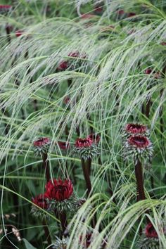 "Echinacea ""Fatal Attraction"" and an undentified ornamental grass, perhaps a species of Stipa. The dark stems and blood-red flowers of the Echinacea look really dramatic against the fragile, pale grass."