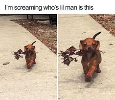 Are you looking for dog memes or other animal memes photos? Here we share 40 funny dog memes photos that make your day more cool, entertaining and awesome. Cute Animal Memes, Animal Jokes, Cute Funny Animals, Funny Animal Pictures, Funny Cute, Funny Dogs, Cute Pictures, Animal Pics, Hilarious