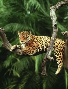 Jaguar wilde dieren I'd love to see this big cat in the wild! He looks so completely relaxed. Jaguar wilde dieren I'd love to see this big cat in the wild! He looks so completely relaxed. Nature Animals, Animals And Pets, Cute Animals, Wild Animals, Nocturnal Animals, Pretty Animals, Jungle Animals, Baby Animals, Beautiful Cats