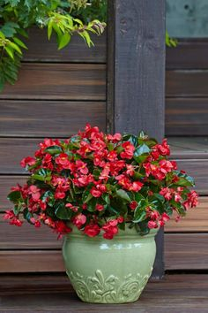 Surefire Red Begonia is the best plant for new gardeners, or those who say they have 'black thumbs'. Grow this plant variety in sun or shade, in a container or the landscape. It is also one you can overwinter indoors until spring returns.