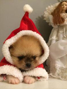 merry christmas ~Pomeranian Dog