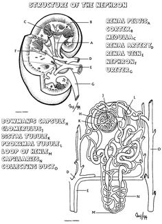 Biology Corner Urinary System resources