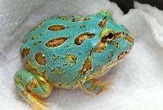 Argentine Horned Frog: This has to be the real FROG PRINCE!!!  A turquoise frog trimmed in shinny gold! ?????