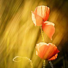 Maci III by ioanaalexandra on DeviantArt Poppies, We Heart It, My Photos, Deviantart, Image, Poppy, Poppy Flowers