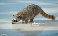 Stock Photo : Pygmy Raccoon (Procyon pygmaeus) drinking, Cozumel Island, Mexico