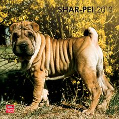 Someone buy me this calendar!! Shar Pei Wall Calendar: The Shar Pei originated in China and is known for its deep wrinkles and blue-black tongue. This 2013 wall calendar features a dozen of these adorable dogs.  $14.99  http://calendars.com/Shar-Pei/Shar-Pei-2013-Wall-Calendar/prod201300004887/?categoryId=cat10065=cat10065#