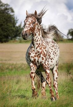 Horse with leopard coat, commonly called freckles horse - Pixdaus