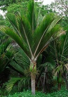 East Cape Nikau Palm ( Rhopalostylis sapida ) These seeds are habitat collected … - tropical garden ideas Tropical Garden Design, Tropical Backyard, Tropical Landscaping, Landscaping Plants, Unusual Plants, Rare Plants, Exotic Plants, Tropical Plants, Palm Plant