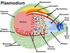Plasmodium - Plasmodium - Wikipedia, the free encyclopedia