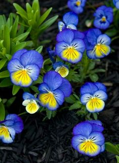 Johnny Jump-up, Heartsease Viola tricolor Flower Boxes, My Flower, Johnny Jump Up Flowers, Beautiful Gardens, Beautiful Flowers, Blue Plants, Sweet Violets, Flower Planters, Lawn And Garden