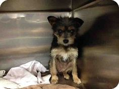 SUPER URGENT!!**** Moreno Valley, CA - Yorkie, Yorkshire Terrier Mix. Meet URGENT-4/25 a Dog for Adoption.