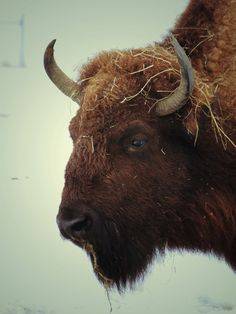 American Bison/Buffalo #2 Art Print