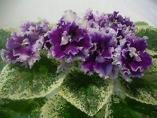 African violet - Saintpaulia - LE-Vizit - plant - Ukrainian Variety!