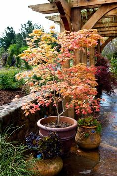 Acer shirasawanum 'Autumn Moon' in container