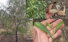 Ironbark Hickory Wattle Acacia Disparrima Salwood Seeds