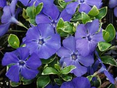 "Vinca Ralph Shugert -     Deer Proof groundcover     Large blue flowers in spring  continue blooming summer & fall      4 seasons of interest     Great shade groundcover for Hostas and Ferns  Zone 4,5,6,7,8 Blooms Spring-Fall 4"" x 18"""