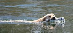 Image result for image of yellow lab chena river