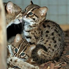 The Berlin Zoo is celebrating the first birth of Rusty-Spotted Cats in its 168-year history. Rusty-Spotted Cats are the world's smallest wild cats, weighing only 2.0 to 3.5 lb (0.9 to 1.6 kg) as adults. Cute Kittens, Beautiful Cats, Animals Beautiful, Berlin Zoo, Rusty Spotted Cat, Wild Cat Species, Rare Species, Small Wild Cats, Tier Fotos