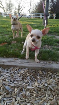 #Lostdog 6-1-14 #Lafayette #IN Female #Chihuahua 7 months old Hunters Crest  Benjamin Crossing 765-413-9771 https://m.facebook.com/story.php?story_fbid=667274800015465&substory_index=0&id=128924210517196