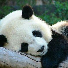 PANDA napping ;-)))))) 💙💖💛💙💖💛