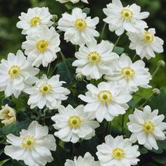Anemone japonica 'Whirlwind' Flowers August to October