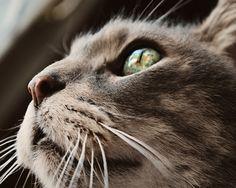 Feline Cat Photography gorgeous eyes,kitty lover's gift idea under $25   VanillaExtinction - Photography on ArtFire