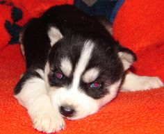 Charlie, my new Granddog, half-sister to our husky Maverick! 4 weeks old :)