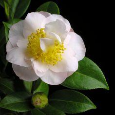 Camellia japonica rusticana 'Yukikomachi' (Japan, 1968) #椿#ツバキ#Camellia
