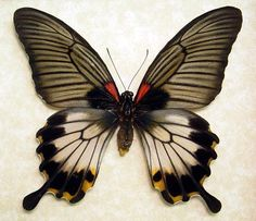 Supplies for taxidermy artworks - dried insects - : Pack 4 ( ) papilio lowi swallowtail ws 120 Butterfly Kisses, Blue Butterfly, Butterfly Wings, Butterfly Watercolor, Flying Insects, Bugs And Insects, Beautiful Bugs, Beautiful Butterflies, Paper Butterflies