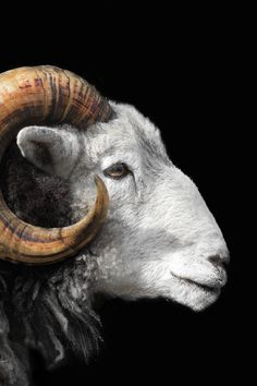 I am a card for every day featuring me - a Herdwick ram in profile showing my magnificent horns. Farm Animals, Animals And Pets, Cute Animals, Animals With Horns, Animal Heads, My Animal, Majestic Animals, Animals Beautiful, Hirsch Tattoo