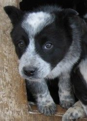 Pup 4of6 is an adoptable Australian Cattle Dog (Blue Heeler) Dog in Alamosa, CO. This adorable Australian Cattle Dog (Blue Heeler) female puppy is one of six in a litter. She is approximately 10 weeks...