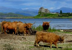 Highland Cows & Duart Castle - Photography:Scotland