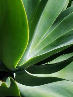 This agave was so attractive with its contrast light and shadow and the glow from within.  This is one of 2 photos I took of the same plant, which together make a beautiful dyptych.