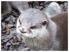 v8dub posted a photo:  Aonyx cinerus.  Zoo am Meer, Bremerhaven, décembre 2016