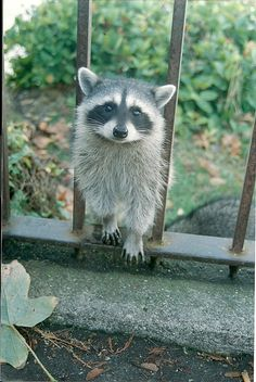 Hi, I'm Your Neighbor, Cute Raccoon, 5 x 7 matted to 8 x 10  $20.00