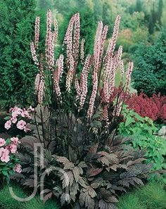 Pink Spike Bugbane (Cimicifuga). These plants have the most intoxicating fragrance. Will grow in full or part sun or shade. The key is that the soil must be moist.