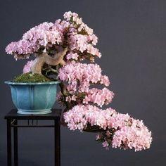 Azalea by Teunis Jan Klein also featured in one of our YouTube movies. #bonsai #art #flowering #beautiful #japan #azalea