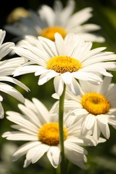 Daisies ~ via Stone Gable   My mothers  favorite flower reminds me of spring